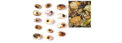selezionatrici ottiche per Legumi difetti fagioli