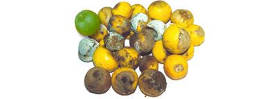 selezionatrici ottiche - agrumi orange sorting machine