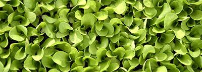 selezionatrici ottiche insalata lattughino