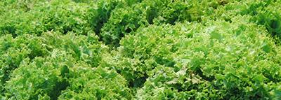 selezionatrici ottiche insalata scarola