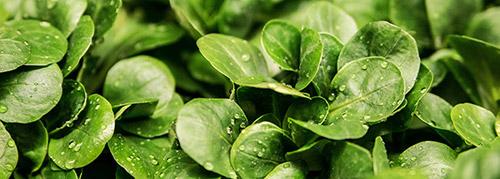 selezionatrici ottiche insalata songino