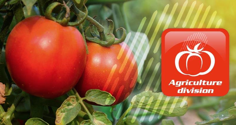 tomato harvesters